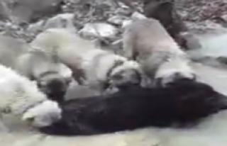 Domuz, Köpekler Tarafından Fark Edilince Kaçamadı
