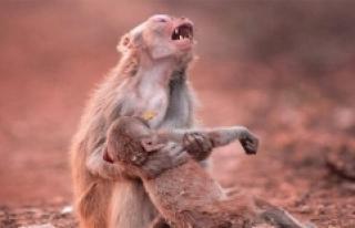 Yavrusu İçin Ağlayan Anne Maymunun Yürek Burkan...