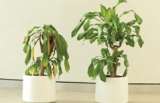 Sürekli Hakaret Edilen Bitki Sararıp Soldu