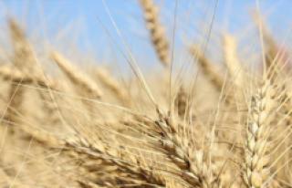 Düzensiz Yağışlar Buğdayda Üretim Kaybına Yol...