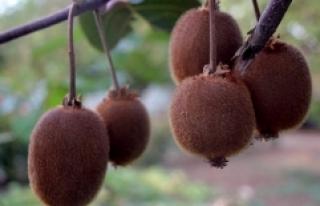 Bingöl'de ilk kez kivi yetiştirildi