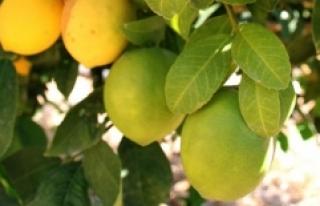Narenciyede erken hasat ihracatı artırdı