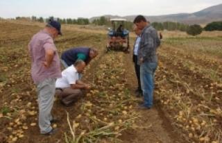 Sivas'ta sertifikalı tohumluk patates hasadı...