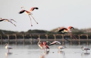 Tunus sahillerinde pembe flamingoların etkileyici...