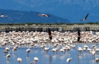 İzmir Kuş Cenneti'nde 20 bin flamingo için...