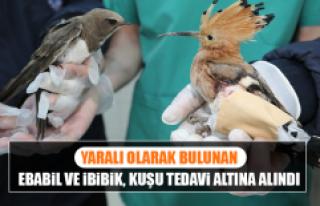 Yaralı Olarak Bulunan Ebabil ve İbibik, Kuşu Tedavi...