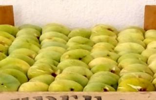 Mersin'in Mut ilçesinde incirde 5 bin ton rekolte...