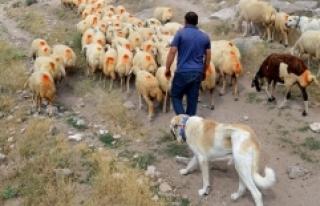 """Çin'in koyunları """"Anadolu aslanı""""na..."""