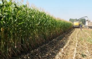 Silajlık mısır çiftçinin yeni gelir kaynağı...