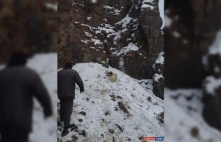 Keçisi kayalıklarda mahsur kalan besicinin yardımına...