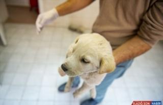 Patisi kopan köpek yavrusuna cerrahi müdahale