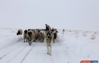 Van'da tipide mahsur kalan iki çoban ile koyun sürüsü...