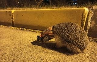 Malatya'da kafasını kraker ambalajına sokan kirpi...