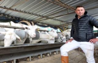Keçilerini Saanen Irkıyla Melezleyen Besici, Süt...