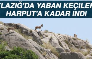 Elazığ'da Yaban Keçileri, Harput'a Kadar...