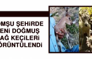 Komşu Şehirde Yeni Doğmuş Dağ Keçileri Görüntülendi