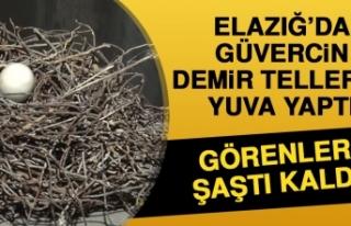 Elazığ'da Güvercin Demir Tellerle Yuva Yaptı