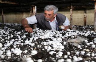 Türkiye'nin Mantar Üretiminin Yüzde 30'unu...