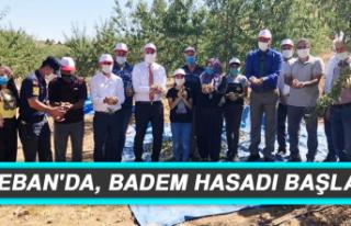 KEBAN'DA, BADEM HASADI BAŞLADI