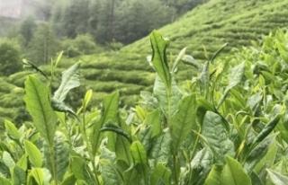 ÇAYKUR çay çöpü ve liflerini de değerlendirecek