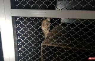 Erzincan'da parkta vaşak yavrusu bulundu