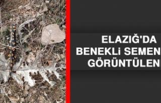 Elazığ'da Benekli Semender Görüntülendi
