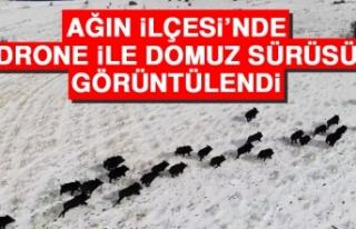Ağın'da Drone İle Domuz Sürüsü Görüntülendi