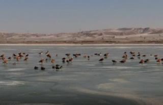 Göller Yöresi'nde en çok sakarmeke, angıt ve...