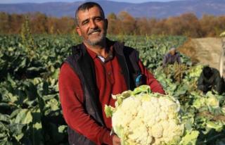 Karnabaharın Fiyatı İzmir'deki Hasatla Birlikte...