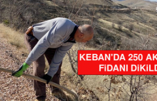Keban'da 250 Akasya Fidanı Dikildi
