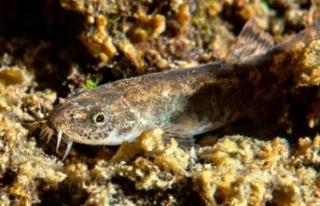 Van Gölü'ndeki ikinci balık türü: Küçük...
