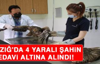 Elazığ'da 4 Yaralı Şahin Tedavi Altına Alındı