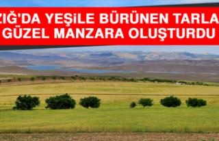 Elazığ'da Yeşile Bürünen Buğday ve Arpa...