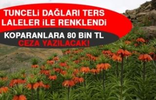 Tunceli Dağları Ters Laleler İle Renklendi, Koparanlara...