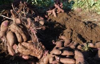 Mor patates verimi ve fiyatıyla üreticiyi sevindirdi