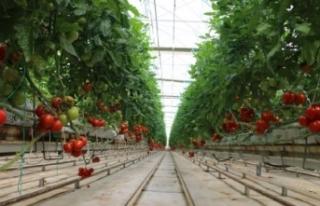 Rusya domates ve biber ithalatı kısıtlamasını...