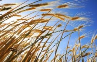 Biyoteknoloji ile tahıl ürünlerinin çeşitleri...