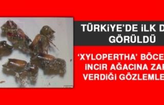 'Xylopertha' Böceğinin İncir Ağacına Zarar...