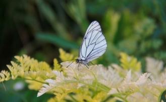 Alıç kelebekleri Ovacık'a renk katıyor