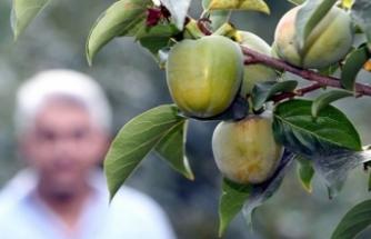 Hakkari'de ılıman iklim meyveleri yetiştirilmeye başladı