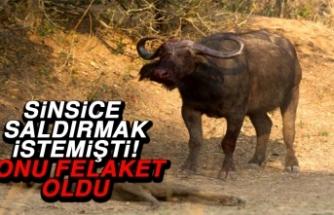 Dişi Bufaloya Sinsice Saldırmak İstemişti! Sonu Felaket Oldu