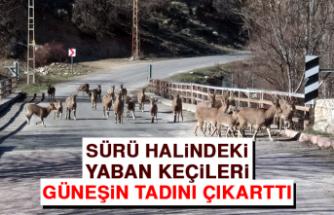 Sürü Halindeki Yaban Keçileri Güneşin Tadını Çıkarttı