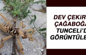 Dev Çekirge Çağaboğan Tunceli'de Görüntülendi