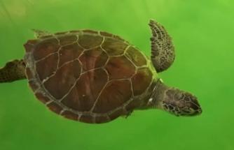 Hayalet ağ ve misina, iki deniz kaplumbağasının yüzgecini kopardı