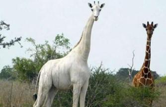 Dünyanın Tek Beyaz Zürafası Koruma Altında!