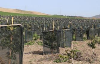 Çukurova Çiftçisi Gelir Garantili Tropikal Meyve Üretimine Yöneldi
