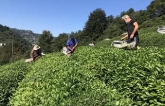 Doğu Karadeniz'de çay hasadı başladı