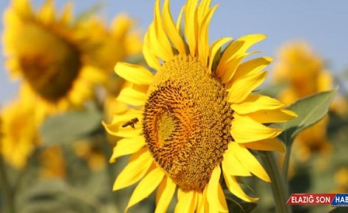 Tekirdağ'da 'Sarı gelinler' çiçek açtı